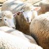 今夜は羊まみれのため